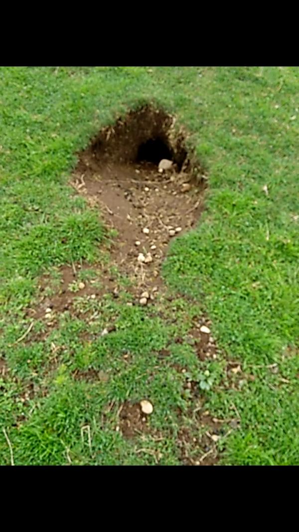 Plaga de Conejos afecta las huertas de pequeños agricultores de Isla Huar
